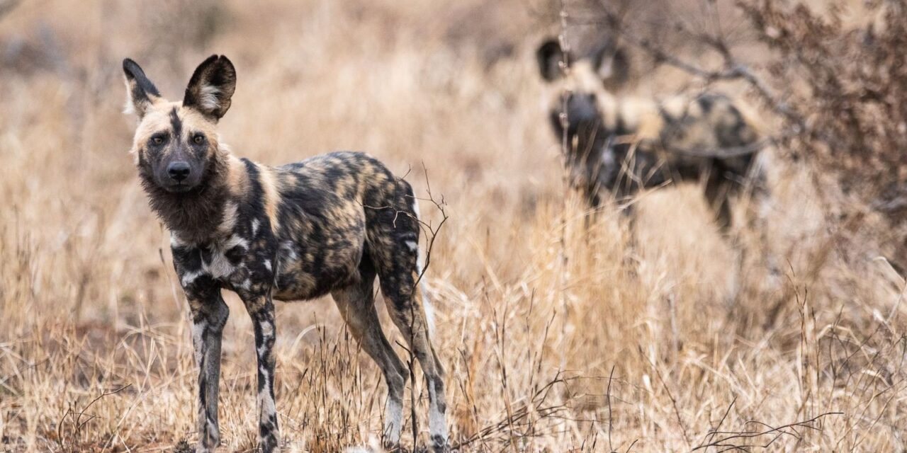 'Wild Dogs' by Asha Loon